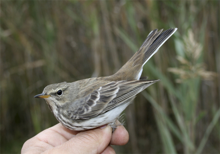 Water_pipit_2