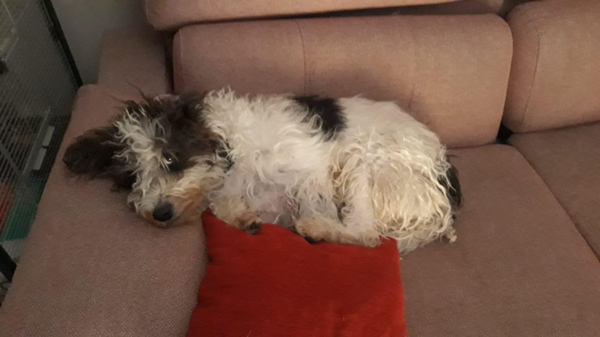 imagen de un perro en un sofa
