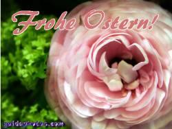 Kostenlose Ostergrußkarten Ranunkel rosa