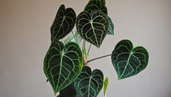 Bladeren van de Anthurium