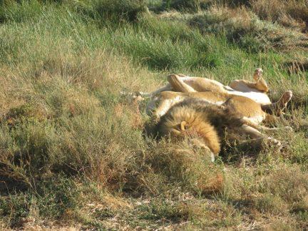 102. Løvene sover inntil hverandre