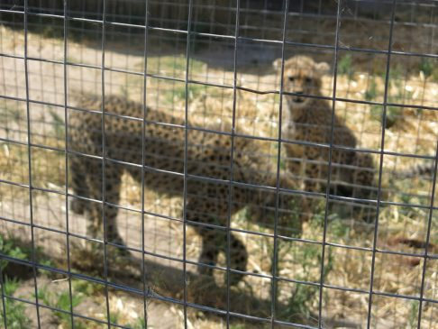 75. Gepardene
