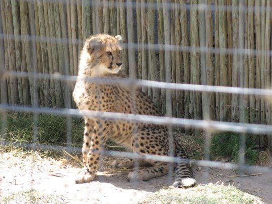77. Geparden i bur