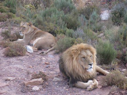 77. Løveparet