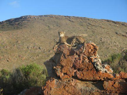 91. Leopard på stein