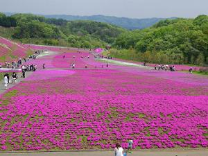 関東芝桜市貝