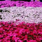 2019関東の芝桜で人気の名所は?見頃はいつ?群馬は穴場かも!?