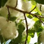 Целебные свойства растений. Аспирин из тополя