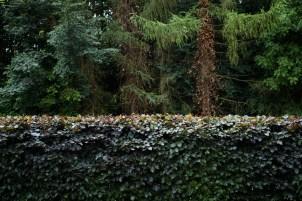 Beech Hedge Trim, Brailsford, Derby 03