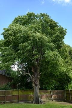 TPO Lime Tree Littleover @ Gardenscape Derby 03