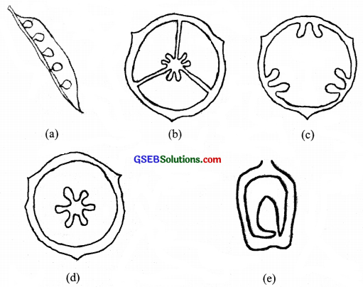 GSEB Solutions Class 11 Biology Chapter 5 Morphology of Flowering Plants img 7