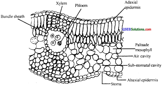 GSEB Solutions Class 11 Biology Chapter 6 Anatomy of Flowering Plants img 11
