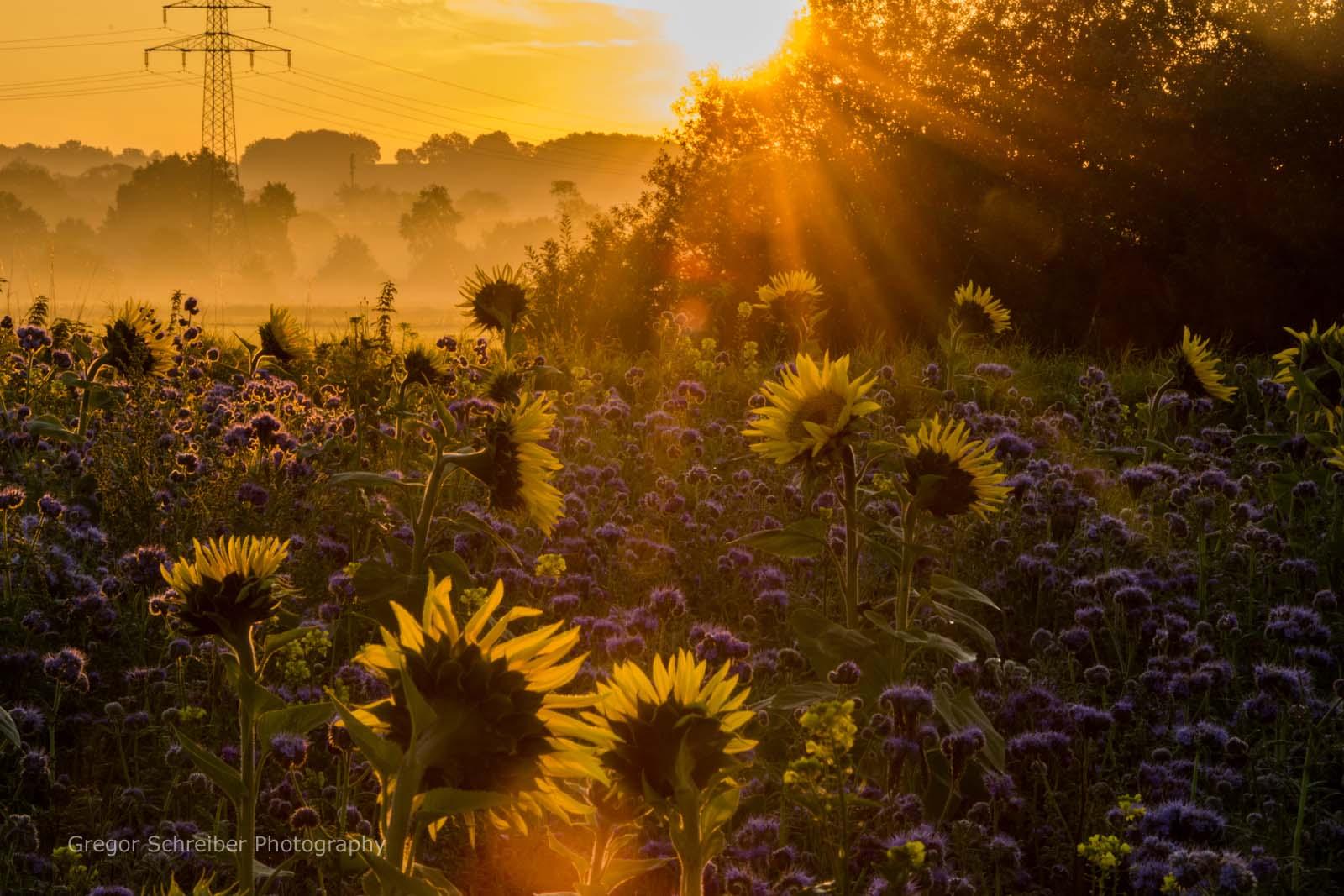 Rothwind Sonnenblumen