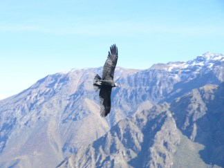 Condor a la cruz del Condor