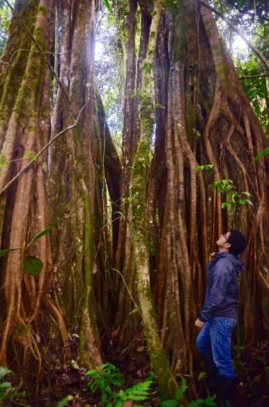 Strangling Ficus' contemplation