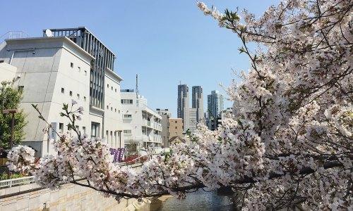 桜と東京都庁