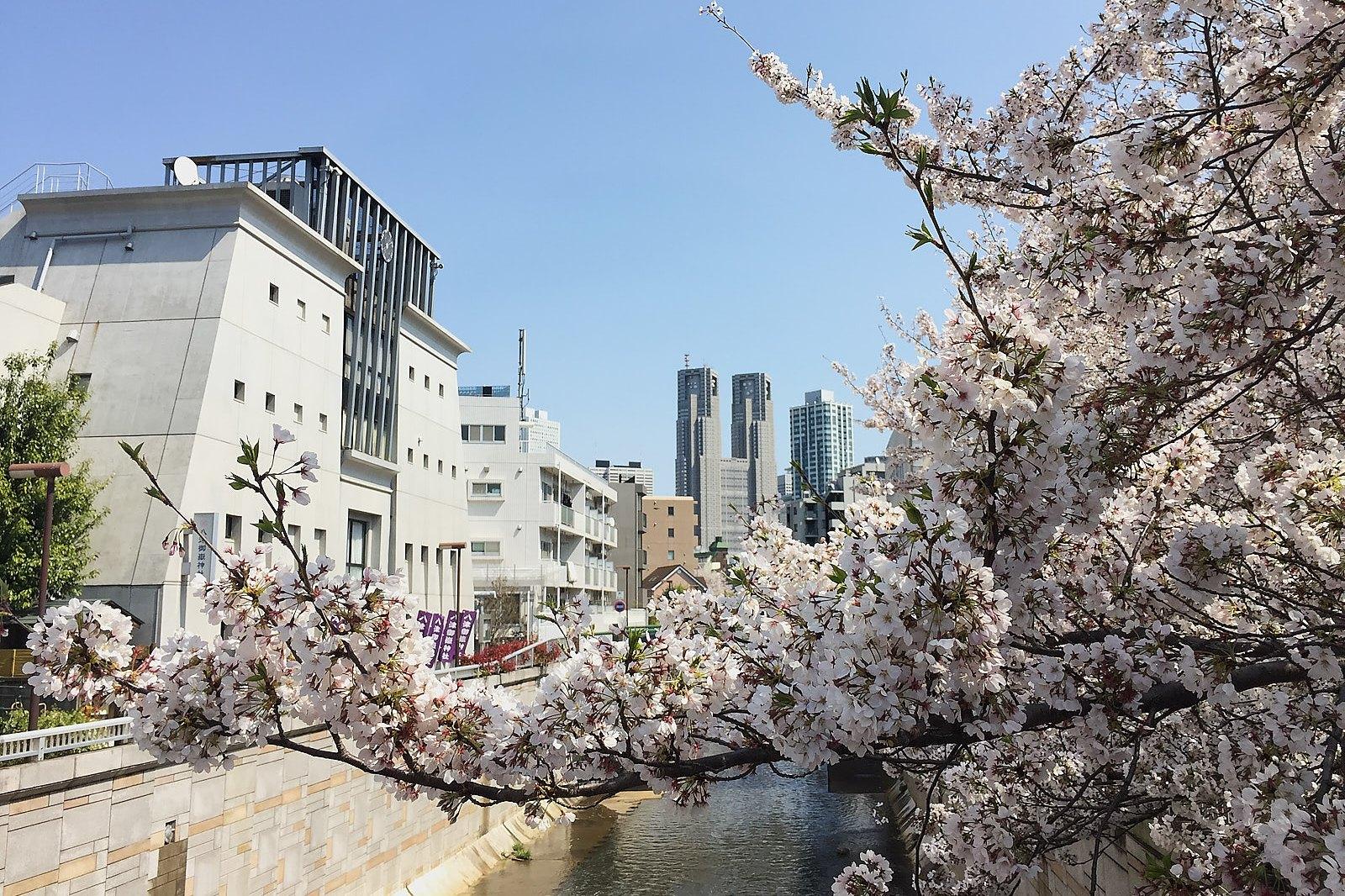 東京都庁と桜