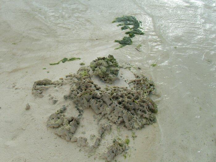 干上がったサンゴ