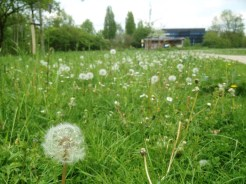 11. A field of dandelions at the Botanic Gardens (nothing else of note was blooming).