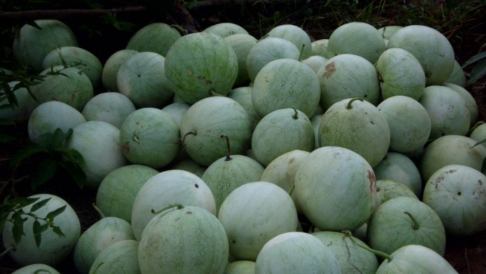 How to cultivate watermelon sustainably     – 2