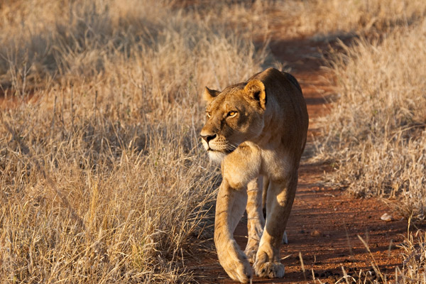 Over 75 Percent of Big Carnivores Facing Extinction