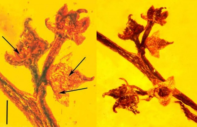 Amber Fossil Shows Ancient Reproduction in Flowering Plant