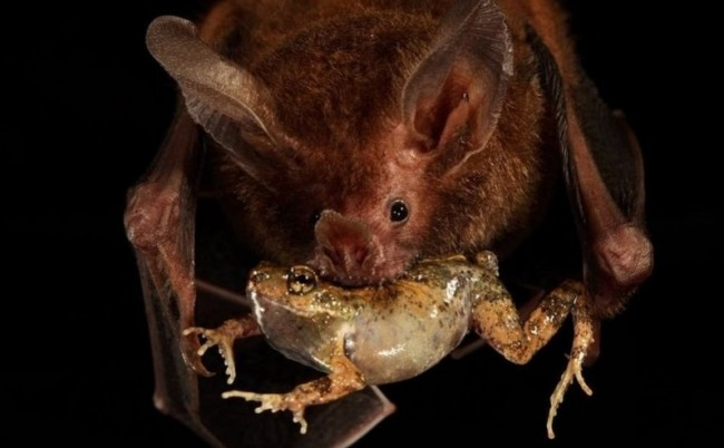 Frog-eating bats use water ripples to hunt tungara frogs