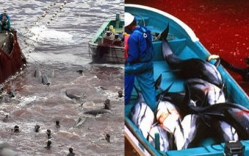 Dolphins Await slaughter