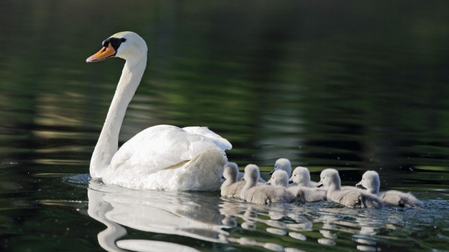 No Swan Song for Mute Swans of New York City