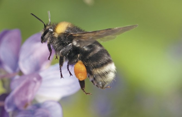 Hope for the Rare Western Bumblebee Yet?