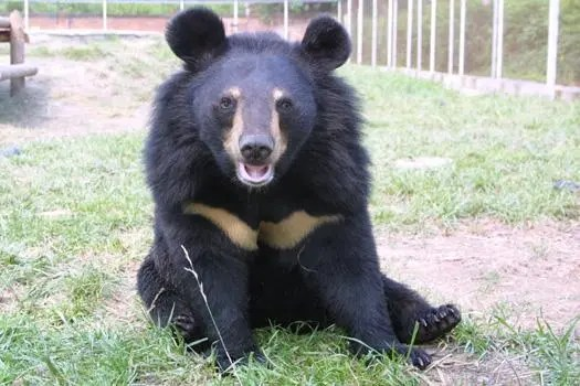 Moon Bears Being Milked for Human Ailments UPDATE [Videos]