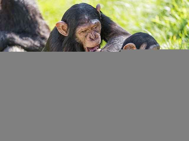 Chimpanzees Learn New Languages Based on Location