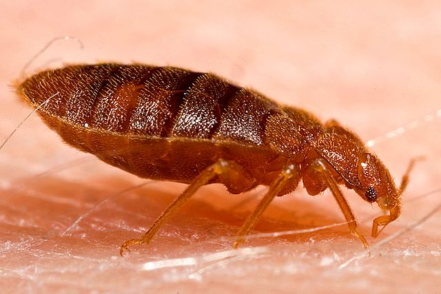 Bed Bugs Study Shows Pests' Genetic Progress