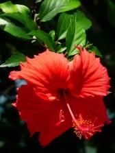 hibiscus?