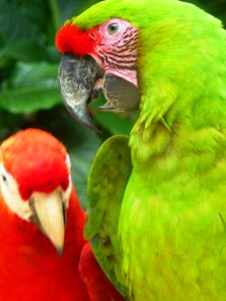 green and red macaws