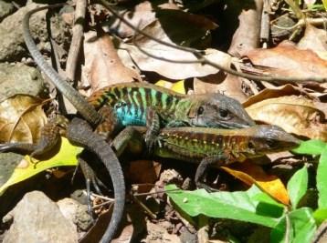 Lizard's private moment