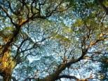 tree canopy at Ometepe
