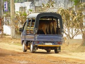 sometimes even cows prefer a tuk tuk ride