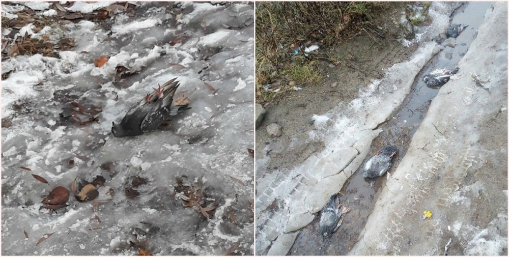 мертвые птицы в Сегеже