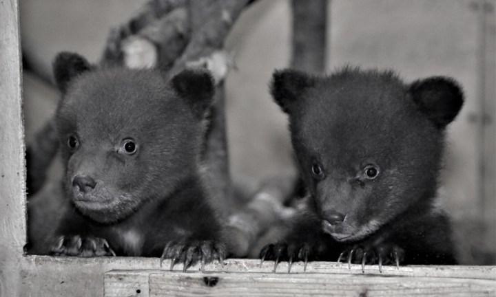 Медвежата в вольере