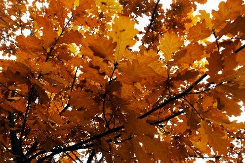 осень, дуб, петрозаводск