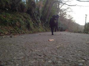 Poppy running along a road in Lerryn