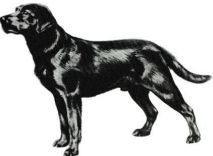 Labrador 001