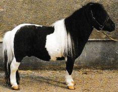 Le Shetland Jacques Magnétiseur animaux