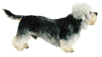 On cite aussi parmi les ancêtres du Dandie-Dinmont, le Scottish terrier, le Cairn, et le Border.