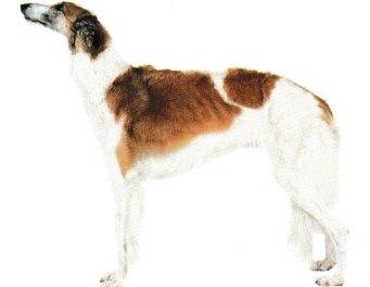 Découvrir la race de chien Barzoï  ou le Levier Russe.