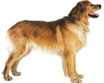 Jacques magnétiseur pour les animaux vous fais découvrir la race de chien Hovawart