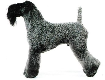 Jacques magnétiseur guérisseur pour les animaux vous présente le Kerry Blue Terrier