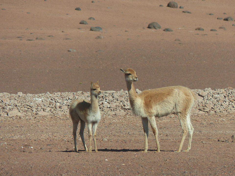 Vicuña in the Atacama Desert