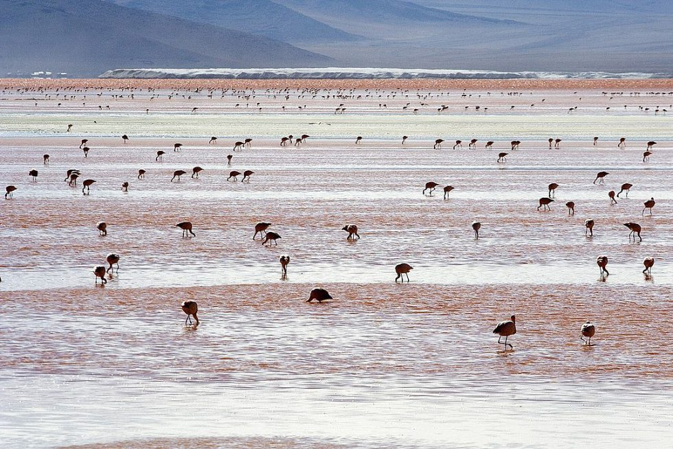 Every November, the salt flat of Salar d Uyuni is the breeding ground for three South American species of flamingo.